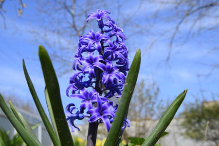 Hyacinthus flowers in the garden in spring. single plant Hyacinth