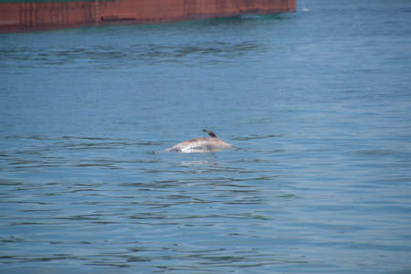 The body of a dead dolphin swims in the sea. The dead dolphin in the Cimes bay.