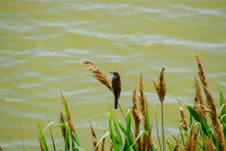 Warbler Acrocephalus sits on reed stalks by the lake. Reklamní fotografie