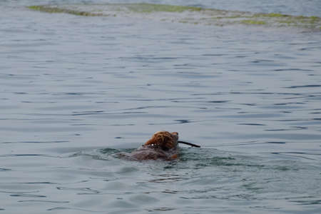 The dog is swimming in the water with a stick in his mouth, carrying it to its owner.