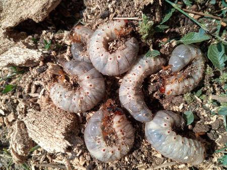 Rhino beetle larvae on the ground in sawdust. rhinoceros beetle