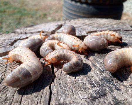 rhinoceros beetle, Rhino beetle larvae on an old wood stump. Large larvae of a rhinoceros beetle.