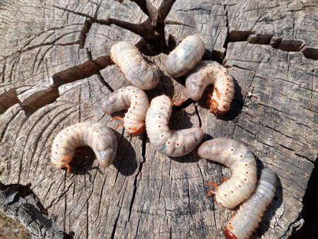 rhinoceros beetle, Rhino beetle larvae on an old wood stump. Large larvae of a rhinoceros beetle.