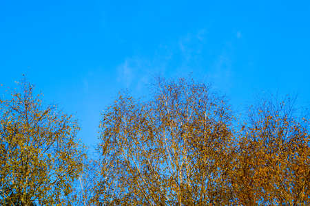 Yellow leaves on birch branches. Autumn came to the birch grove. Banco de Imagens