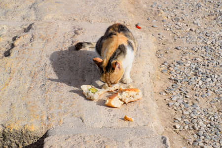 Tricolor cat eats bread on a stone. Feeding a domestic cat.