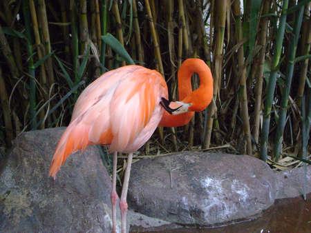 Phoenicopterus ruber, ruber