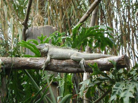 iguana, iguana