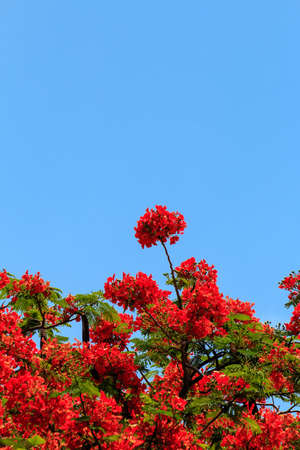 The flame tree , Chiang Mai Thailand Stock Photo