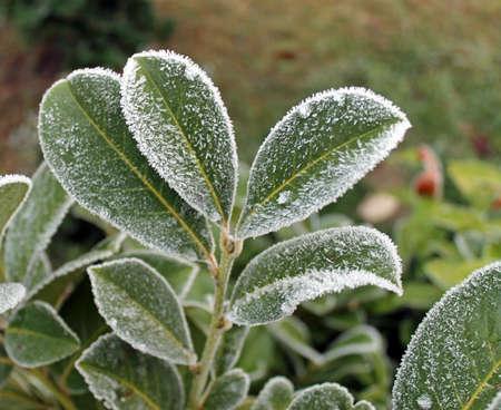 ice crystals: Ice crystals on cherry laurel leaf