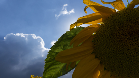 Sunflower, chamomile family of seeds and oil grown for a yellow flowering plant