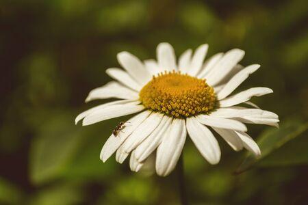daisywheel: Ant creeps on petal daisywheel