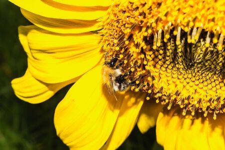 recoger: abejorro está en la flor de girasol para recoger el polen