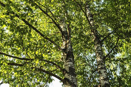 sheet: Birch with green sheet Stock Photo