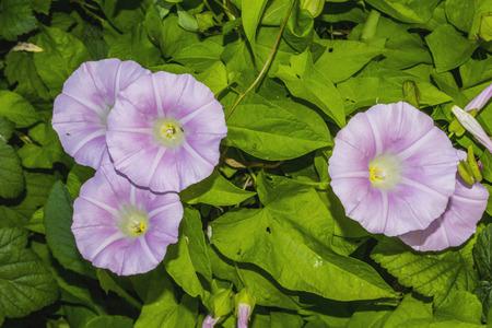 bindweed: Bindweed field  (lat. Convolvulus arvensis)