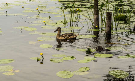 nestling: Wild duck with small nestling Stock Photo