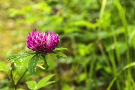 dutch: Dutch clover flower