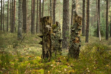anguish: Three old stumps in wood