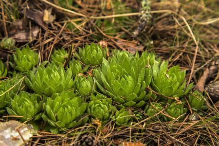 Group of plants of the spurge Stock Photo