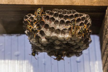 Wasps Stock Photo - 83556713
