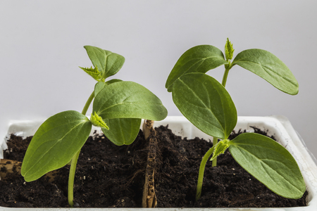 A small sprout of cucumbers in a container Stock Photo
