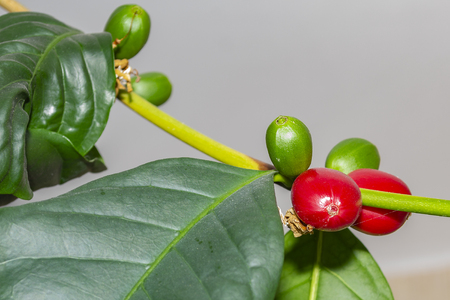 Coffee fruit on a branch
