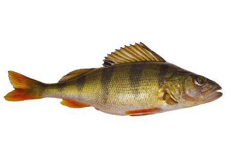 Perch-freshwater fish