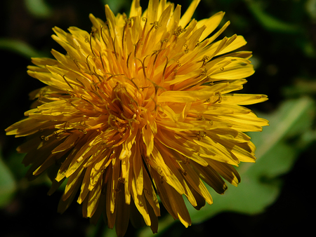 Close up Dandelion flower, newly emerged at the signs of Spring, clearly seeing its multiple pistils