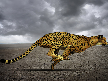 Cheetah at full speed on the plain behind his prey