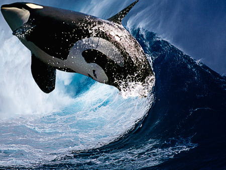 Orca moving through the waves of the sea