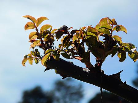Close up of small bud of a rosebush as spring approaches Banco de Imagens