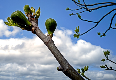 Fruits growing on a fig tree as spring approaches Banco de Imagens