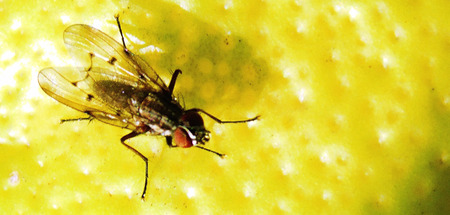 Close up of a Gadfly perched on a lemon. Banco de Imagens