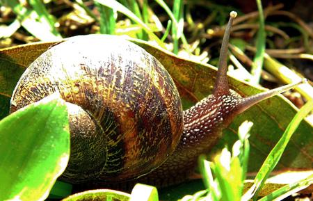Close up of a Snail moving through the garden