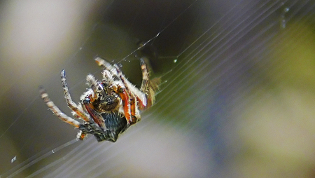 Small colorful Spider moving through the threads that wove