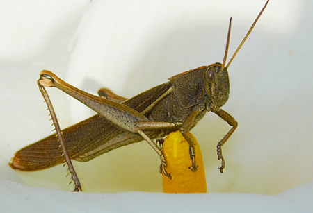 Grasshopper of rare color and texture raised to the pistil of a cove