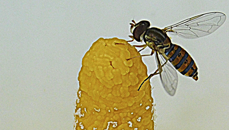 Colorful Wasp,collecting pollen on the pistil of a cove.