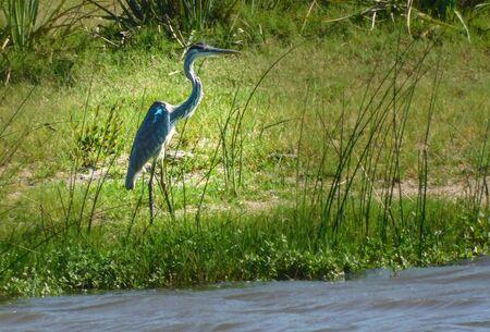 Blue Heron, .... in a vigilant attitude .......