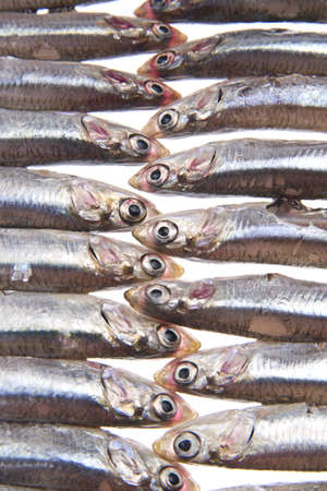 sardines: bluefish
