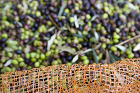 producing: olive grove Stock Photo