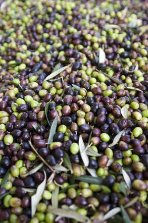 olive grove Standard-Bild