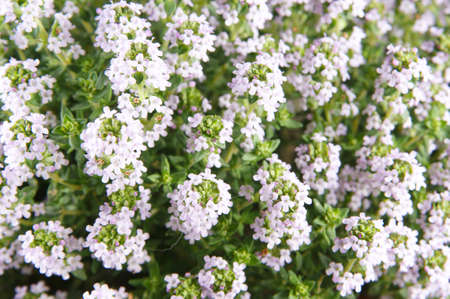 aromatic herb, thyme