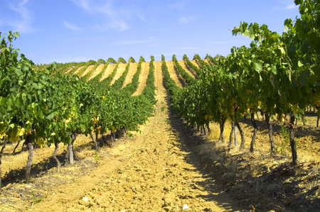 vineyard Stock Photo - 12775946