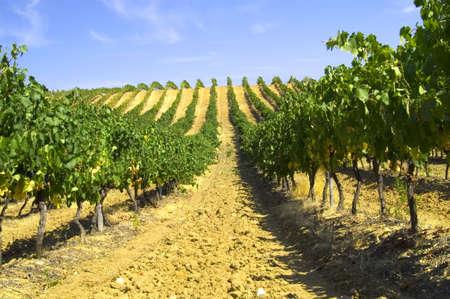 vineyard Stock Photo - 12775946