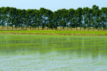 Reisfelder Standard-Bild - 12924525