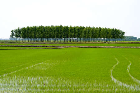 rice fields Stock Photo - 12924530