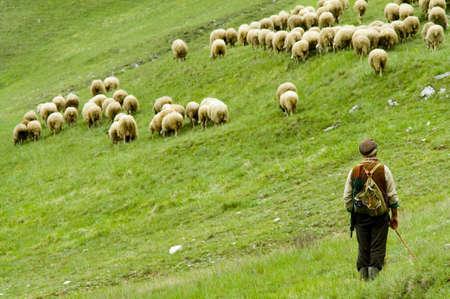 pastor: ovejas en el medio silvestre Foto de archivo