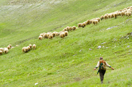 sheep in the wild photo