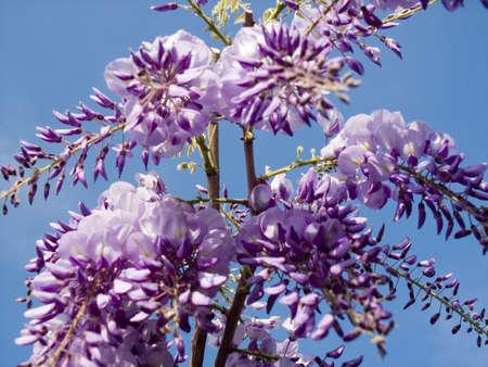 wisteria: flowering wisteria