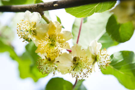 actinidia deliciosa: Flowers Of Spring, The Flower Of Kiwi
