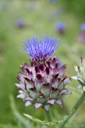 Flowering Season, The Flower Of The Artichoke  photo